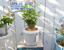 【トネリコ 鉢植え|トネリコとタグハンドルポットMGの鉢植え】トネリコ シマトネリコ 鉢 ガーデニング ベランダ ジャンクガーデン 鉢植え オリーブ 鉢植え かわいい おしゃれ オリーブの鉢
