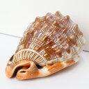 巻貝 置物|巻貝 巻き貝 ほら貝 貝殻【インテリア 癒し 置物】メンズ レディース パワーストーン 天然石 海外直輸入価格 巻貝