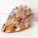 巻貝 置物|巻貝 巻き貝 ほら貝 貝殻【インテリア 癒し 置物】メンズ レディース 限定 一点物 パワーストーン 巻貝