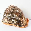 巻貝 置物|巻貝 巻き貝 ほら貝 貝殻【インテリア 癒し 置物】メンズ Men's レディース Ladies 天然石 海外直輸入価格 巻貝
