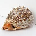 巻貝 置物|巻貝 巻き貝 ほら貝 貝殻【インテリア 癒し 置物】メンズ レディース 一点物 パワーストーン 巻貝