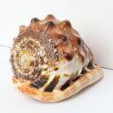 巻貝 置物|巻貝 巻き貝 ほら貝 貝殻【インテリア 癒し 置物】メンズ レディース 一点物アイテム 天然石 巻貝