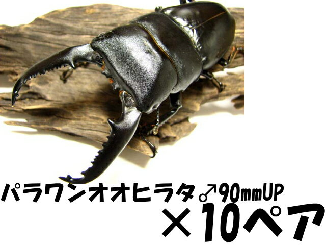 パラワンオオヒラタクワガタ♂90mmUP×10ペア