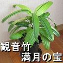 観音竹『満月の宝』 ☆売れ筋☆観葉植物
