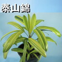 観音竹『泰山錦』最上柄☆観葉植物