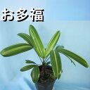 観音竹『お多福』☆観葉植物