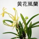 『黄花 風蘭』