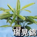 観音竹『瑞晃錦』☆観葉植物