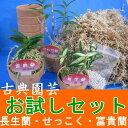 日本の着生ラン(長生蘭・セッコク・富貴蘭)お試しセット