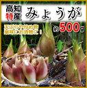 高知産・みょうが約500g入り(送料別)05P03Sep16プレミアムおかわり!にっぽん須崎市