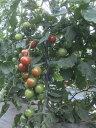 【北海道洞爺湖町】有機栽培ミニトマト(150g×8P)【有機JAS認定】