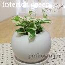 観葉植物 インテリアグリーン  もっとも美しいポトス ポトスエンジョイ グリーン 初心者さんにも育てやすくてオススメ ポトス エンジョイ photos n'joy 観葉植物 インテリアグリーン