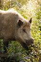 みかん畑を荒らし回っていた猪をソーセージにしました。バーベキューなどにおすすめ ☆みかん猪とは? みかん猪は愛媛県今治産で...