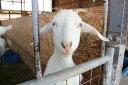OZ産山羊 テンダーロイン1.1kg前後...