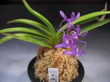 風ラン フウラン 交配種 紫姫