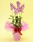 清楚な印象のデンファレ一般贈答用・法人贈答用共に人気のデンファレです!洋ランの中でもスタンダードで比較的育てやすい蘭です。 デンファレ5本立(代引き不可)【