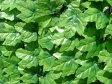グリーンフェンス 1×3m 日よけ 省エネ 壁面緑化 緑のカーテン 目隠し m ガーデンフェンス トレリス ラティス(代引不可)【ポイント10倍】【送料無料】