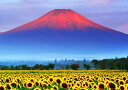 【売れ筋】絵画風 壁紙ポスター (はがせるシール式) 赤富士 朝焼けの富士山と向日葵畑 ひまわり キャラクロ FJS-033A1 (A1版 830mm×585mm) 建築用壁紙+耐候性塗料