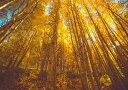 【売れ筋】絵画風 壁紙ポスター 黄葉 樹木 森林 陽射し 黄色 黄金色 紅葉 癒し 気分転換 (はが