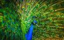 絵画風 壁紙ポスター (はがせるシール式) 芸術的なクジャクの飾り羽 孔雀 インドクジャク 鳥 キャラクロ BKJK-003W2 (ワイド版 603m..