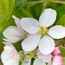 清潔感のある爽やかなリンゴの花の香り。アップルブロッサム -Apple Blossom-10mlハイグレード アロマクラフト用 フレグランスオイル(手作り石鹸 香水 キャンドル バスボム サシェ / ディフューザー 加湿器 ネブライザー用)