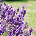 RoomClip商品情報 - 女性に人気の甘めのラベンダー。ラベンダー(ラバンジン)Lavender(Lavandin)10ml天然100%のエッセンシャルオイル(精油)(手作り石鹸 香水 バスボム バスソルト アロマペンダント サシェ ディフューザー用)