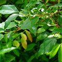 クセの強い防虫剤の様な香りです。カンファー (Camphor...