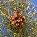 パイナップルではありません。松の香りです。パイン (Pine)10ml天然100%のエッセンシャルオイル(精油)(手作り石鹸 香水 バスボム バスソルト アロマペンダント サシェ ディフューザー用)