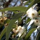 スーッとした清涼感が人気。加湿器にもどうぞ。ユーカリ (Eucalyptus)10ml天然100%の...