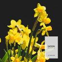 【10ml】日本ではラッパスイセンで親しまれています ダッフォディルフレグランスオイル(ボディセーフタイプ アロマクラフト用)Daffodil Fragrance Oil /手作り石鹸 香水 バスボム ルームスプレー サシェ ディフューザー 加湿器 ネブライザー などに