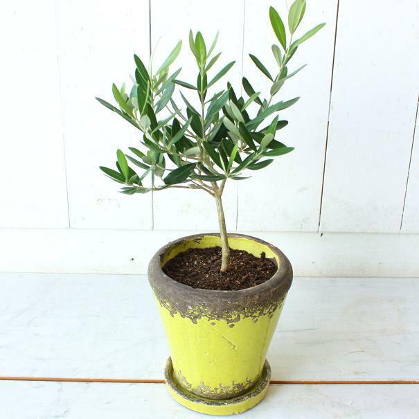 「オリーブの木鉢植え」の画像検索結果