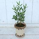 送料無料 とってもかわいい!!オリーブの木 鉢植えおしゃれなアンティーク風鉢入り ホワイト オリーブ プレゼント …