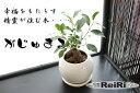 幸福をもたらす精霊が住む木 ガジュマル 観葉植物 鉢植え送料無料 ガジュマルの木 鉢 ミニ ギフト