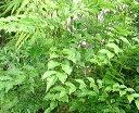 室内やお庭に、葉が美しいシマトネリコ