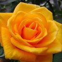 バラ苗 新苗ティアモコシ 切り花当園オリジナル 4号鉢 予約販売 4月中旬以降出荷予定