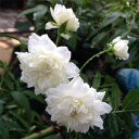 バラ苗 2年大株苗白木香 モッコウバラ オールドローズ 6号鉢