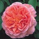 バラ苗 アブラハムダービー 国産大苗7号鉢オレンジ系 イングリッシュローズ