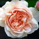 バラ苗 アンブリッジローズ 国産苗 大苗7号鉢ピンク系 イングリッシュローズ【バラ】【バラ苗】【2011年1月から順次発送】