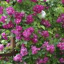 バラ苗 ペレニアルブルー 国産新苗4号ポリ鉢つるバラ(CL) 返り咲き 紫系