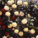 バラ苗 つるピース 国産大苗6号スリット鉢 つるバラ(CL)一季咲き大輪 黄色系