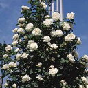 【訳あり】苗B バラ苗 フラウカールドルシュキ 6号スリット鉢つるバラ(CL) 四季咲き 白系