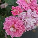 RoomClip商品情報 - バラ苗 ファンシーラッフル 国産新苗4号ポリ鉢つるバラ(CL) 四季咲き中輪 ピンク系