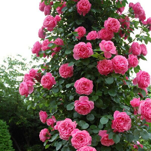 バラ苗 レオナルドダビンチ 国産新苗4号ポリ鉢つるバラ(CL) 返り咲き ピンク系
