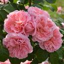 バラ苗 桜衣(さくらごろも) 国産新苗4号ポリ鉢つるバラ(CL) 返り咲き ピンク系