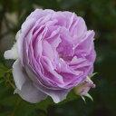 バラ苗 エーデルシュタイン 国産新苗4号ポリ鉢つるバラ(CL) 返り咲き 複色系