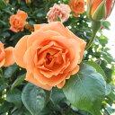 バラ苗 ロイヤルサンセット 国産大苗6号スリット鉢つるバラ(CL) 四季咲き オレンジ系