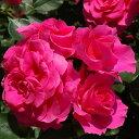 バラ苗 ローズうらら 国産大苗6号スリット鉢フロリバンダ(FL) 四季咲き中輪 ピンク系