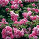 バラ苗 ジャスミーナ 国産大苗6号スリット鉢つるバラ(CL) 返り咲き ピンク系
