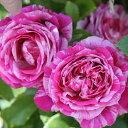 バラ苗 フランボワーズバニーユ 国産大苗6号スリット鉢 つるバラ(CL) 返り咲き 複色系