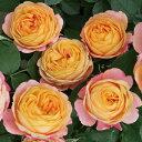 ベビーロマンティカ スリット フロリバンダ 四季咲き アンティーク オレンジ